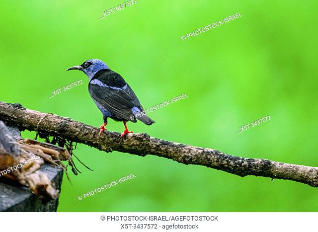 Red-legged honeycreeper (Cyanerpes cyaneus) male. This small songbird is found in the tropics from southern Mexico to northern South America