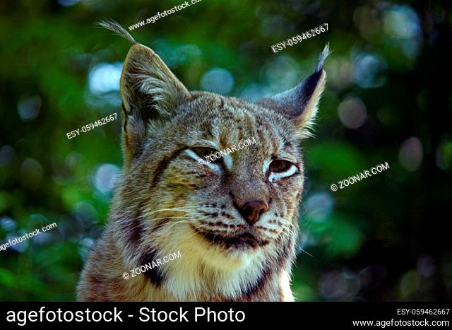 The Eurasian lynx is the third largest predator in Europe