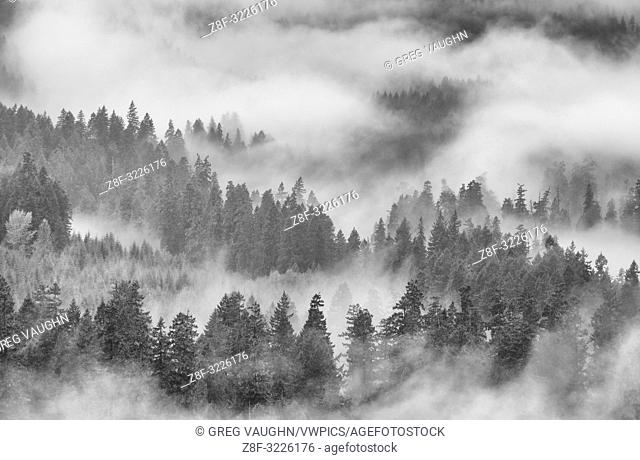 Fog, rain and clouds in forest on southeast side of Mount Saint Helens National Volcanic Monument, Cascade Mountains, Washington