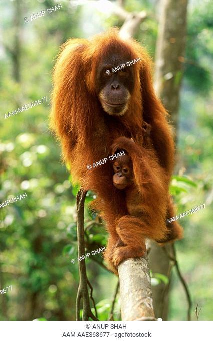 Orangutan (Pongo pygmaeus) with young, Gunung Leuser NP, Indonesia