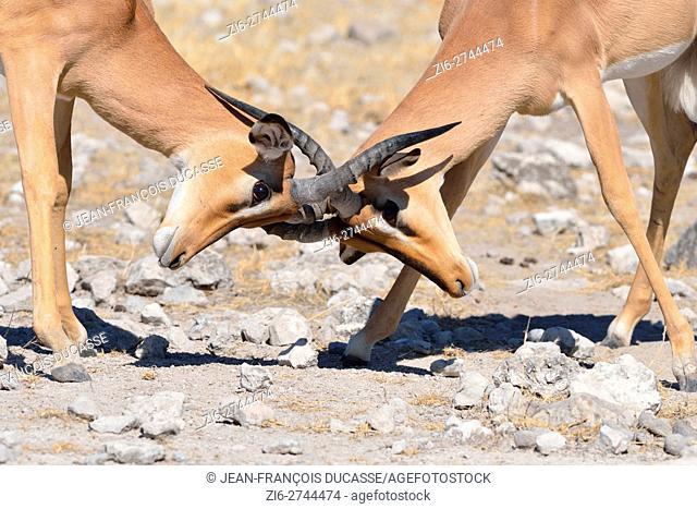 Black-faced impalas (Aepyceros melampus petersi), two males fighting on stony ground, Etosha National Park, Namibia, Africa