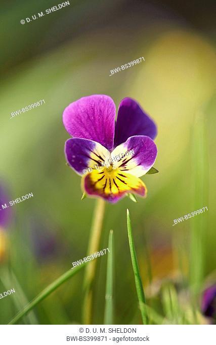 horned pansy, horned violet (Viola cornuta), flower in backlight