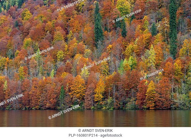Mixed forest showing autumn colours along Königssee / Kings lake, Berchtesgaden National Park, Bavarian Alps, Bavaria, Germany