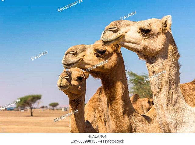Desert landscape with camel. Sand, camel and blue sky with clouds. Travel adventure background