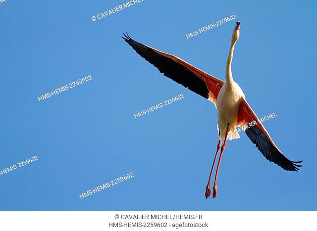 France, Bouches du Rhone, Camargue Regional Nature Park, Saintes Maries de la Mer, Ornithological Park of Pont de Gau, Flamingo (Phoenicopterus roseus) In...