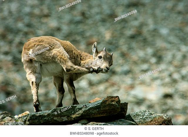 Alpine ibex (Capra ibex, Capra ibex ibex), yeanling standing on a rock and scratching, Switzerland, Valais, Saas Fee