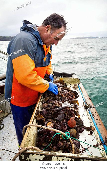 Traditional Sustainable Oyster Fishing. A man sorting oysters on a boat deck
