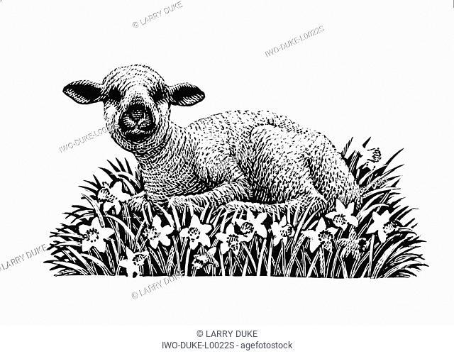 Lamb Lying on the Ground