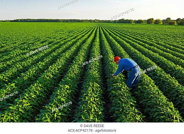 A man checks a mid growth soybean field, Manitoba, Canada