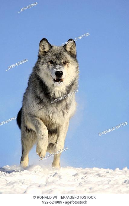 Wolf (Canis lupus) in a game farm. Minnesota. USA