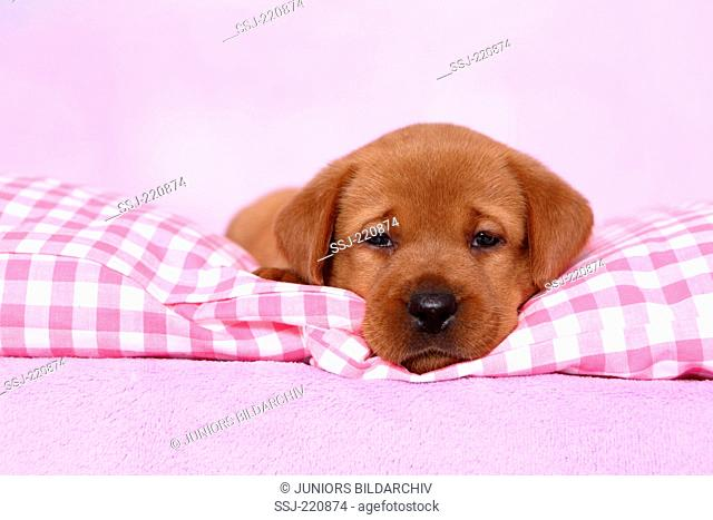 Labrador Retriever. Puppy (5 weeks old) dozing on a pink and white checkered blanket. Germany. Studio picture seen against a pink background