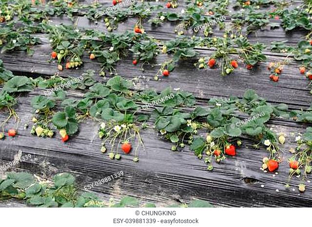 strawberries grown in the mulch plastic film?