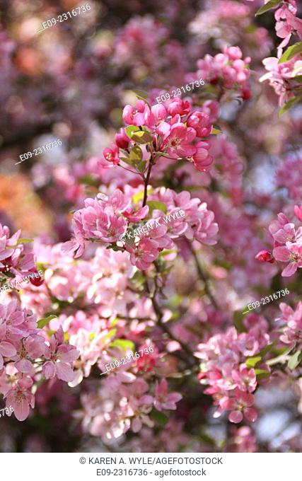 fruit tree blossoms in varying shades of pink, Monroe County, IN
