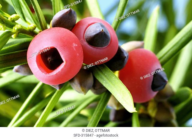 Yew fruits on the branch Taxus baccata