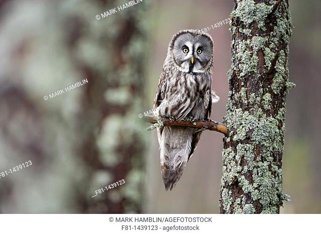 Great grey owl Strix nebulosa perched in forest captive-bred