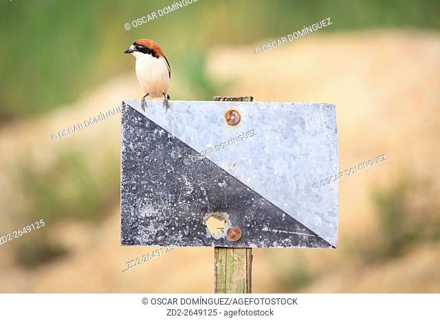 Female Woodchat Shrike (Lanius senator) perched on hunting area signpost. Lleida province. Catalonia. Spain