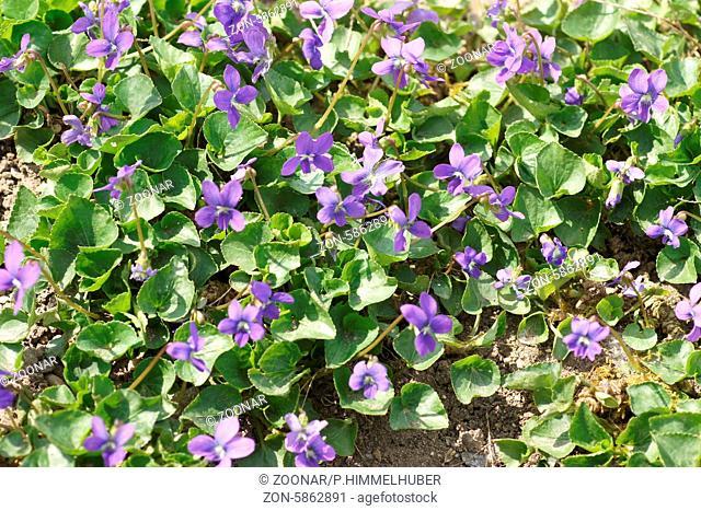 Viola cucullata, Wildveilchen, Wild violet