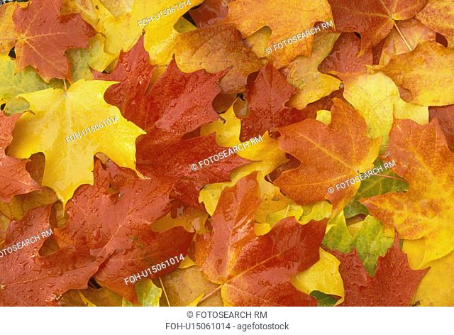fall, leaves, Vermont, maple leaf, close-up, A cluster of maple leaves lay on the ground in an assortment of colors (red, orange, yellow, green)
