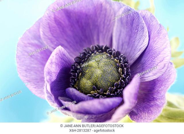 purple anemone summer flower exquisite still life purple on blue