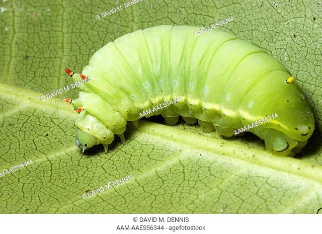 Tulip-tree Moth caterpillar (Callosamia angulifera) South Mountains State Park, NC