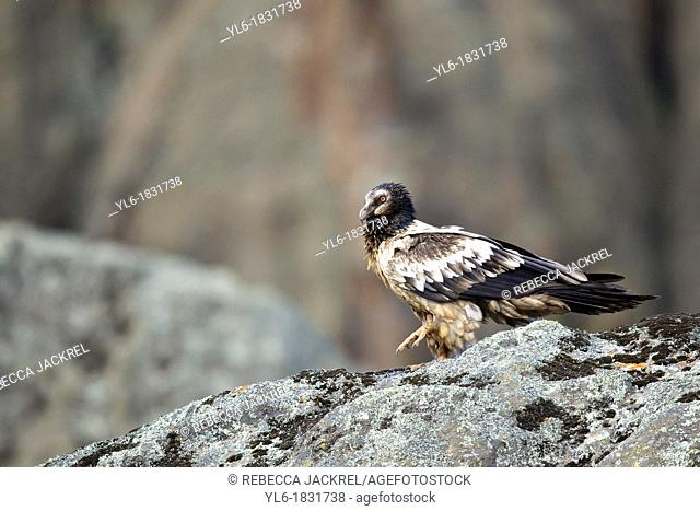 a juvenile lammergeier perched on a rock in Ethiopia