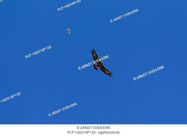 Immature European Golden Eagle (Aquila chrysaetos) being mobbed by Common Kestrel (Falco tinnunculus) in flight