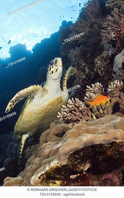 Hawksbill Sea Turtle, Eretmochelys imbricata, Brother Islands, Red Sea, Egypt
