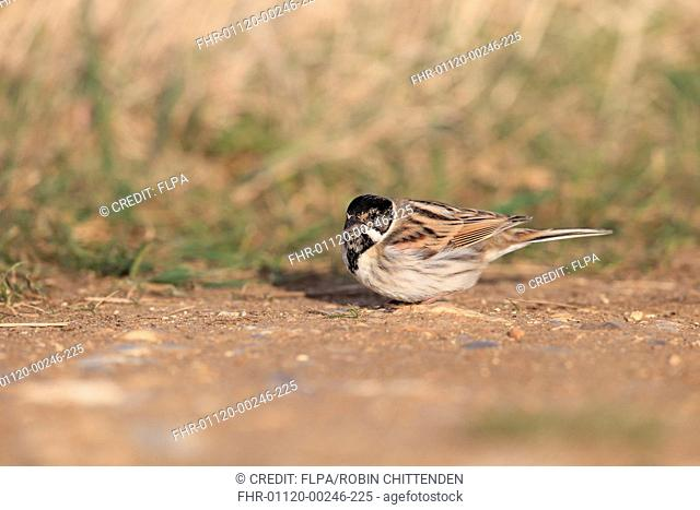Common Reed Bunting (Emberiza schoeniclus) adult male, moulting into breeding plumage, foraging on ground, Norfolk, England, March