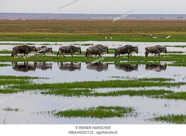Kenya, Kajiado county, Amboseli national park, gnu (Connochaetes)