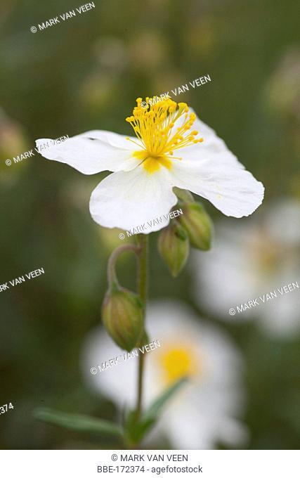 White Rock-rose is a rare species of chalk grasslands