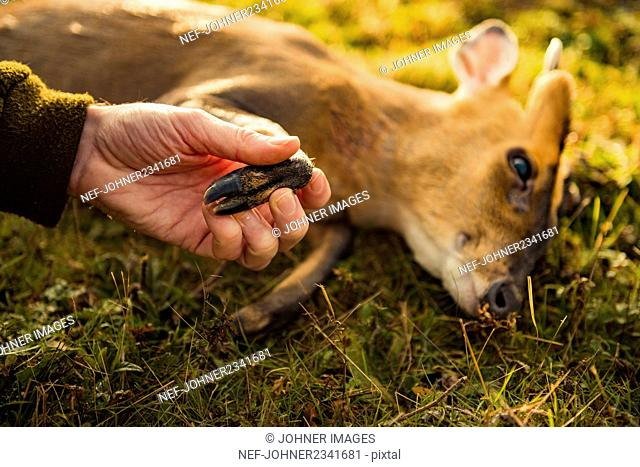 Hunter showing deer hoof