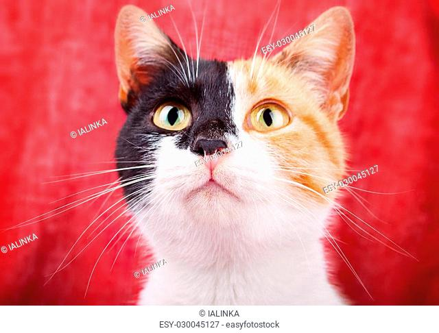 Amusing and Funny Calico Cat Gazing Attentively