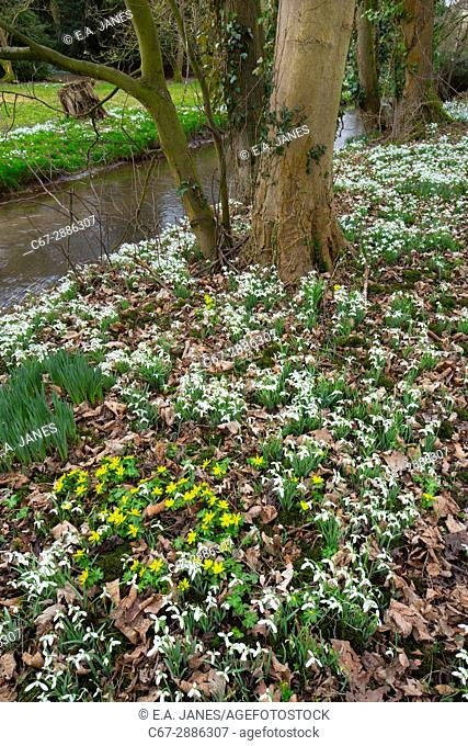 Snowdrops Galanthus nivalis and Winter Aconites