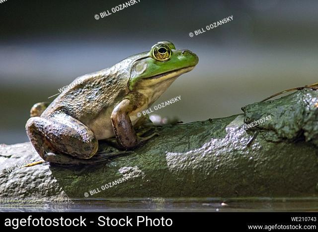 American bullfrog (Lithobates catesbeianus) - Pisgah National Forest, Brevard, North Carolina, USA