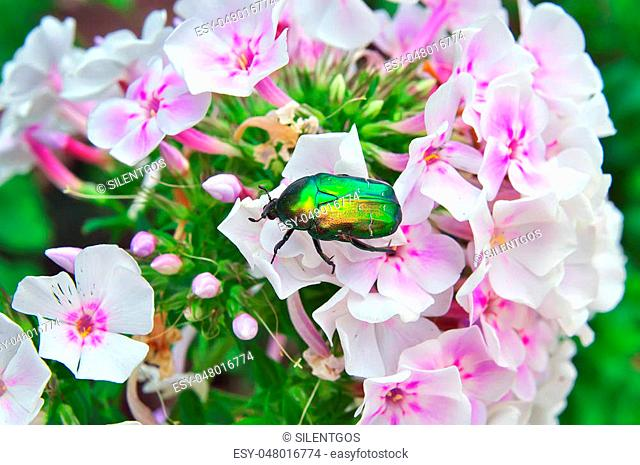 chafer on a white flower close-up