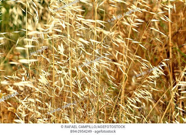 Avena fatua, species of grass in the oat genus. Fam. Poaceae. It is known as the common wild oat. Barcelona, Catalonia, Spain