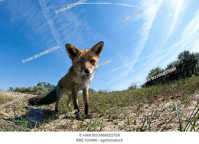 Red fox in the Dunes coming towards the photographer