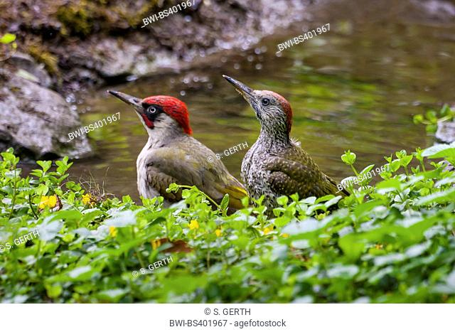 green woodpecker (Picus viridis), young green woodpecker and adult one at a bathing place in the forest, Switzerland, Sankt Gallen