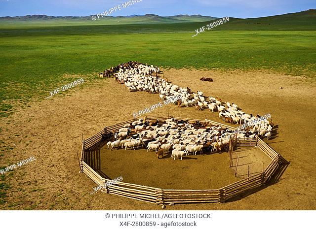 Mongolia, Arkhangai province, nomad camp, sheep herd leaving the stockyard