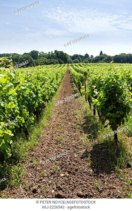 Rows of grape vines at Monbazillac
