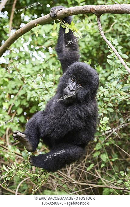 Mountain gorilla (Gorilla beringei) young baby - 2 year old - hanging from branch, member of the Nyakagezi group, Mgahinga National Park, Uganda