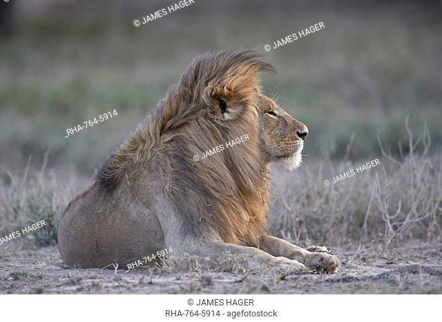Lion (Panthera leo), Ngorongoro Conservation Area, Tanzania, East Africa, Africa