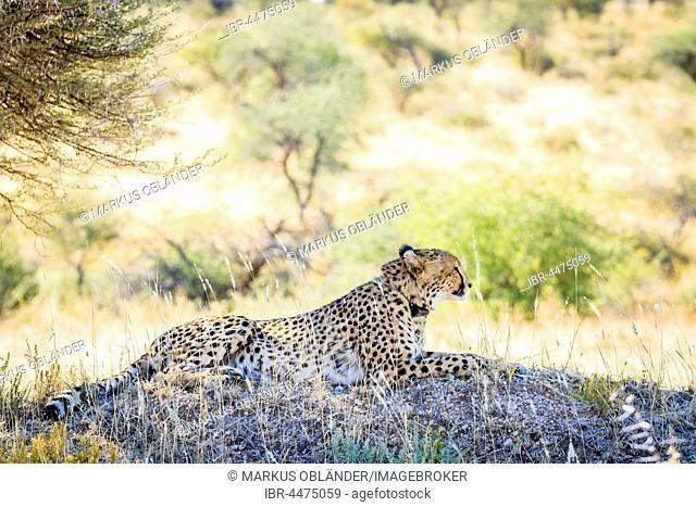 Cheetah (Acinonyx jubatus), with radio collar, Okonjima AfriCat Foundation, Otjiwarongo, Namibia