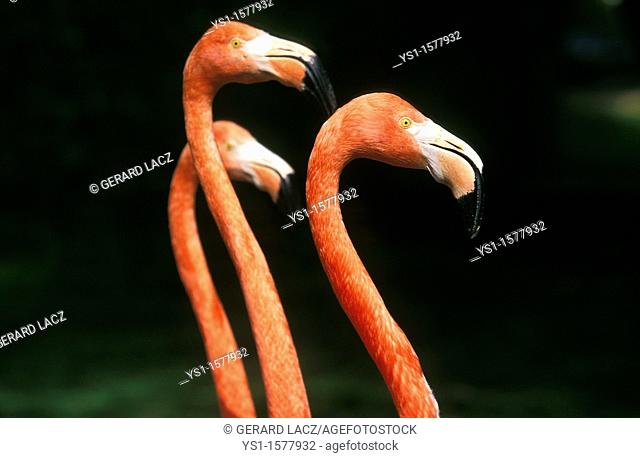 Chilean Flamingo, phoenicopterus chilensis, Group of Adults