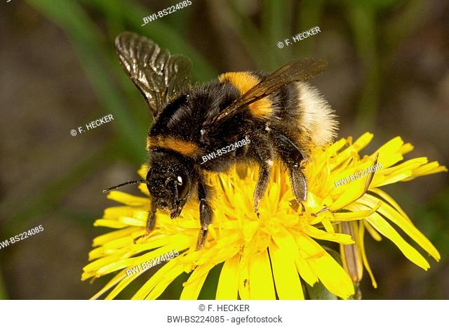 buff-tailed bumble bee (Bombus terrestris), on dandelion searching for nectar