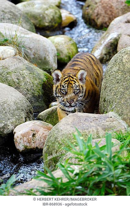 Sumatran Tiger (Panthera tigris sumatrae), cub