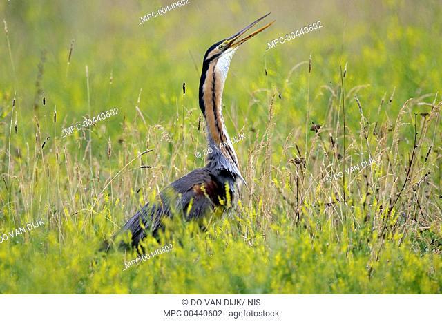 Purple Heron (Ardea purpurea) calling, Hungary