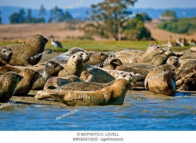 harbor seal, common seal (Phoca vitulina), colony on the beach, USA, California, Moss Landing, Elkhorn Slough