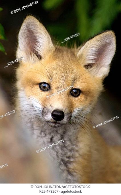 Red foxes (Vulpes vulpes), kit near roadside den. Killarney Provincial Park, Ontario, Canada