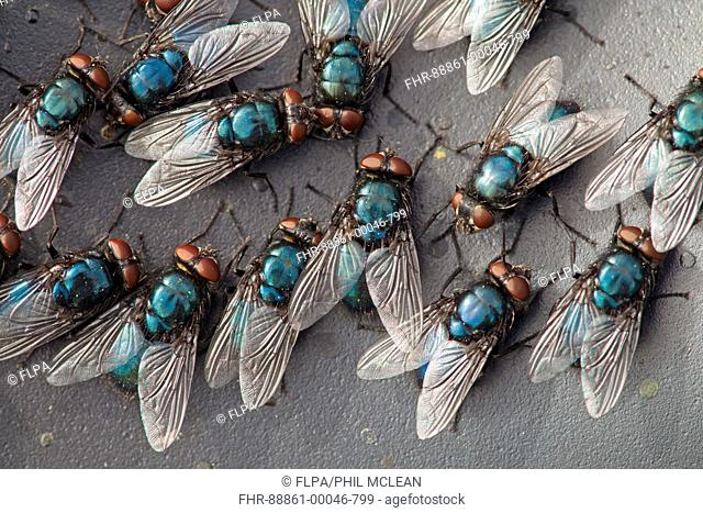 Group of Blow/ Bluebottle Flies Calliphora vomitoria' at rest on surface in the sun, in Berwickshire, Scottish Borders in june